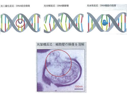 殺菌ランプによるDNAダメージ